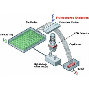 Cartucho de array de 96 capilares 50 um (ID), 55 cm (EFF), 80 cm (TOT), 10mL (RES), 1 unidad