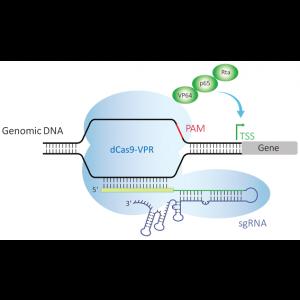 Controles Expresión Génica -Edit-R CRISPRa TTN Lentiviral sgRNA Positive Control - Human