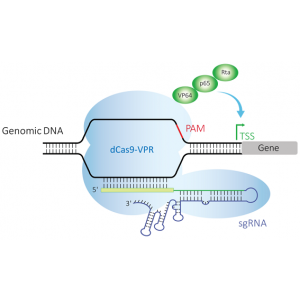 Reactivos Expresión Génica -Edit-R CRISPRa Set of 4 lentiviral sgRNA - Mouse